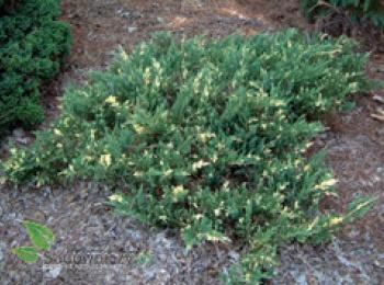 jalowiec-chinski-expansa-variegata